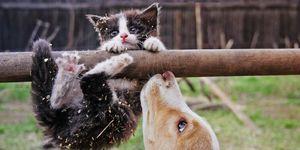 Hoe komt een kat altijd op zijn pootjes terecht