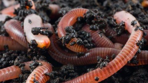 regenworm-doorknippen