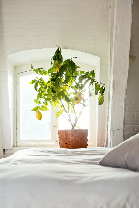 indoor citrus trees
