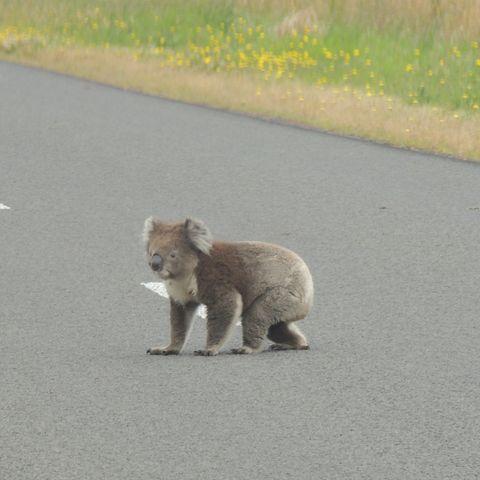 Koala crossing the road