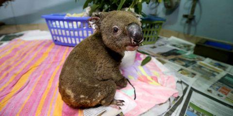 Een van de geredde koala's in Australië, verwond door de bosbranden.