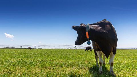 Waarom heeft een koe vier magen