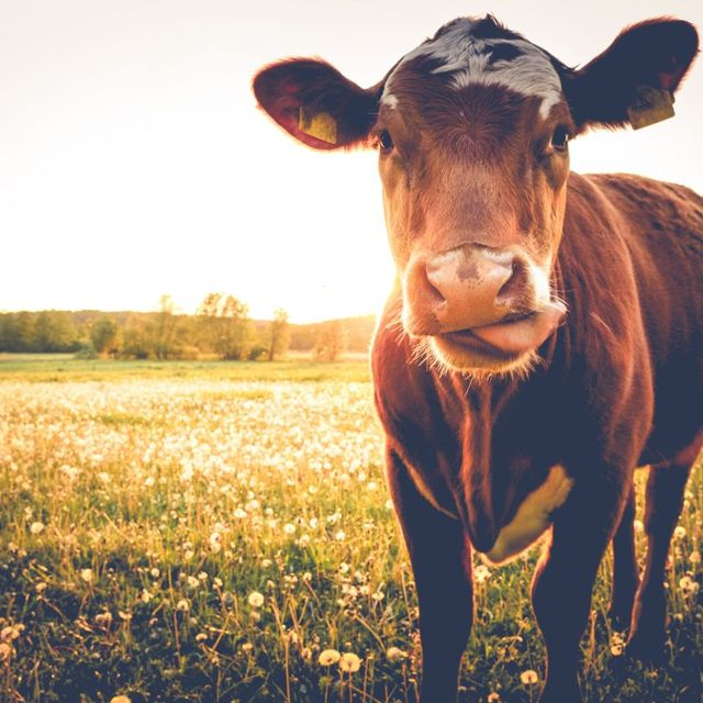 Waarom heeft een koe vier magen?