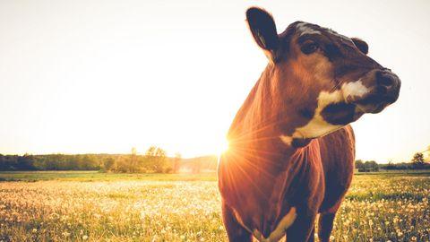 Waarom heeft een koe 4 magen?