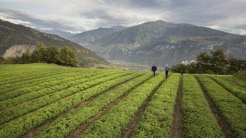een kruidenveld van ricola in de zwitserse bergen