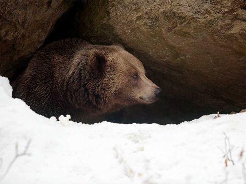 Brown bear, Vertebrate, Grizzly bear, Mammal, Bear, Terrestrial animal, Wilderness, Carnivore, Wildlife, Snout,