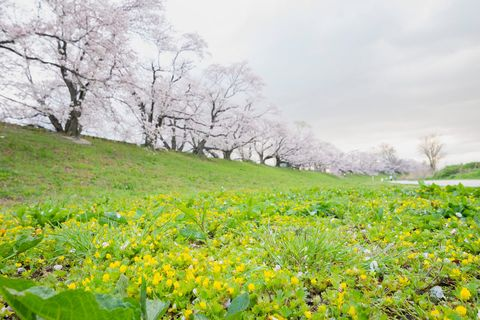 桜 背割堤