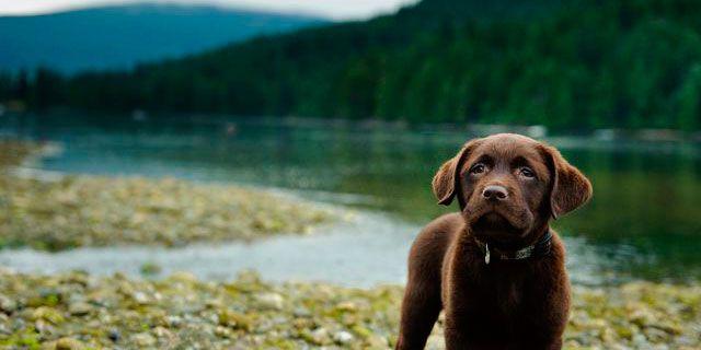Chocolate Labradors Have A Shorter Life Expectancy Than