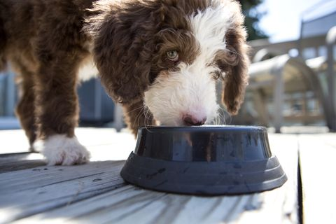 Labradoodle Puppy eating or drinking