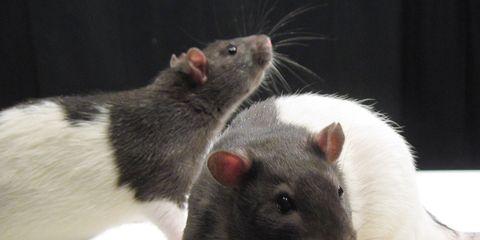 laboratory rats