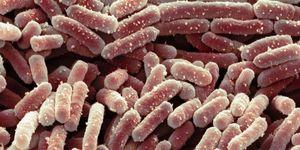 Lactobacillus bacteria, SEM