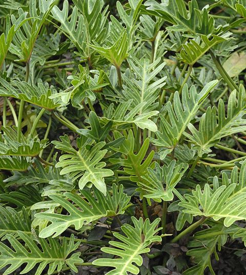 Lacy tree philodendron (Philodendron selloum)