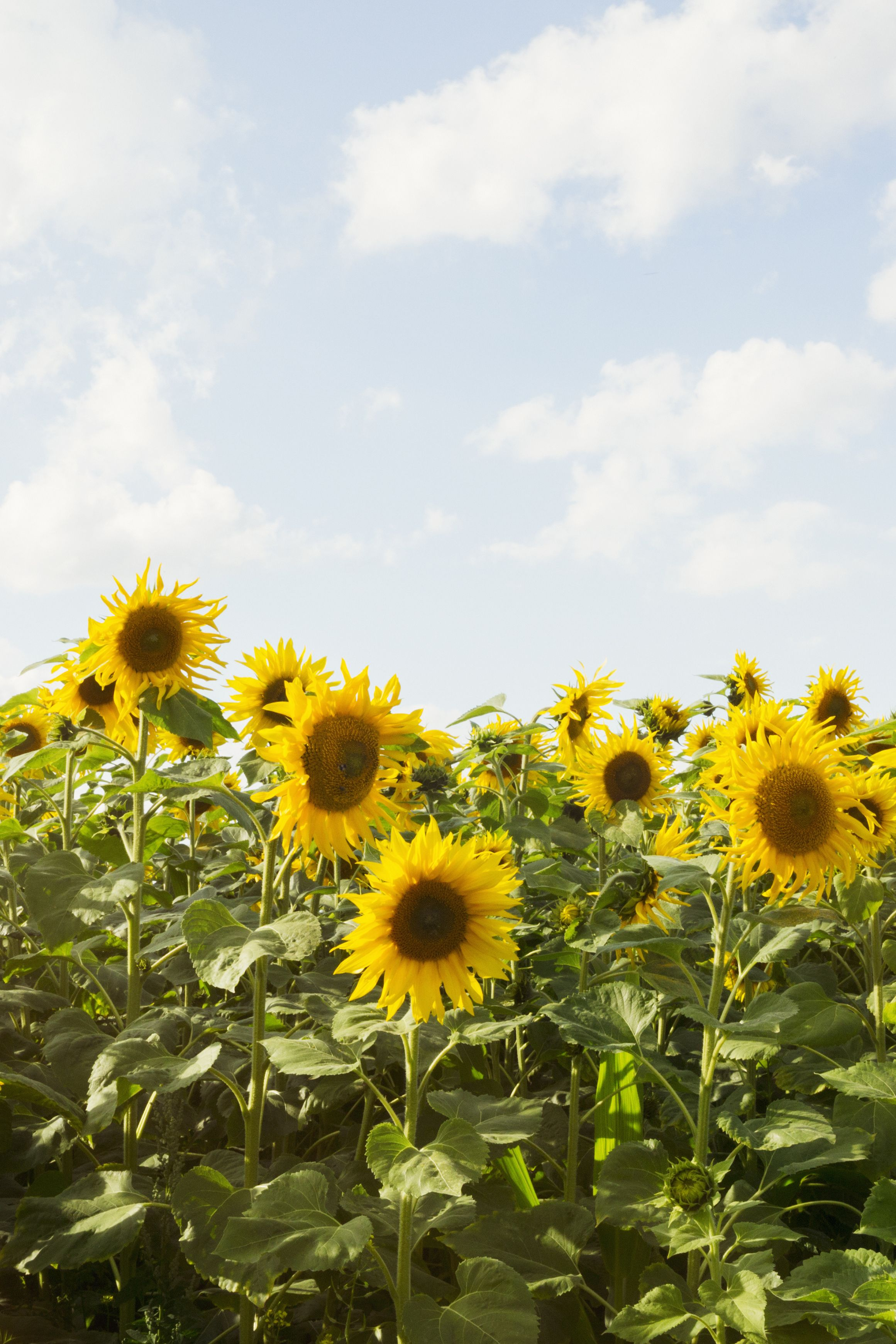 25 Best Sunflower Fields Near Me Top Sunflower Fields Mazes In