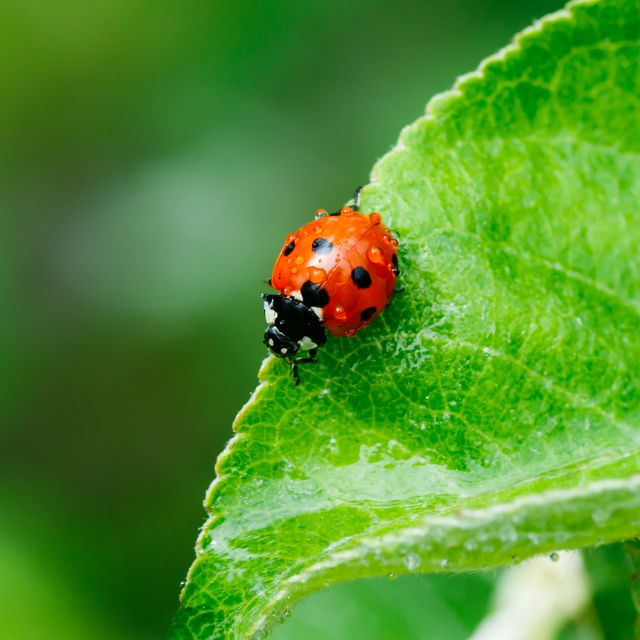 apple leaf with ladybug and raindrops in the garden on spring
