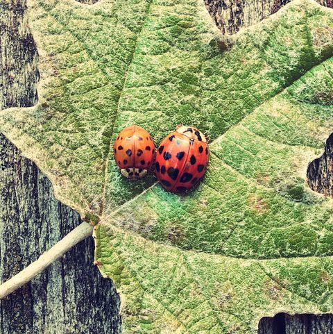 Vintage photo of ladybugs on green leaf