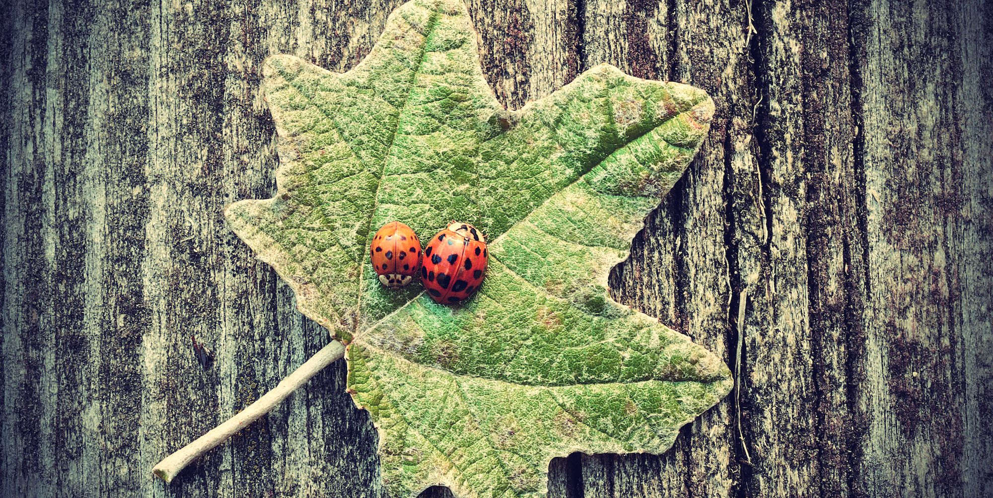 The UK has been invaded by ladybirds this autumn – and here's why