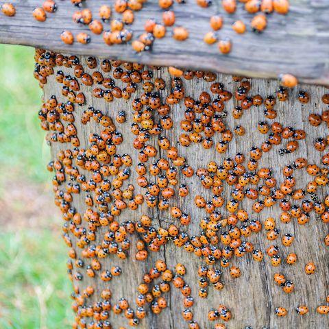 Ladybug On Wooden Fence