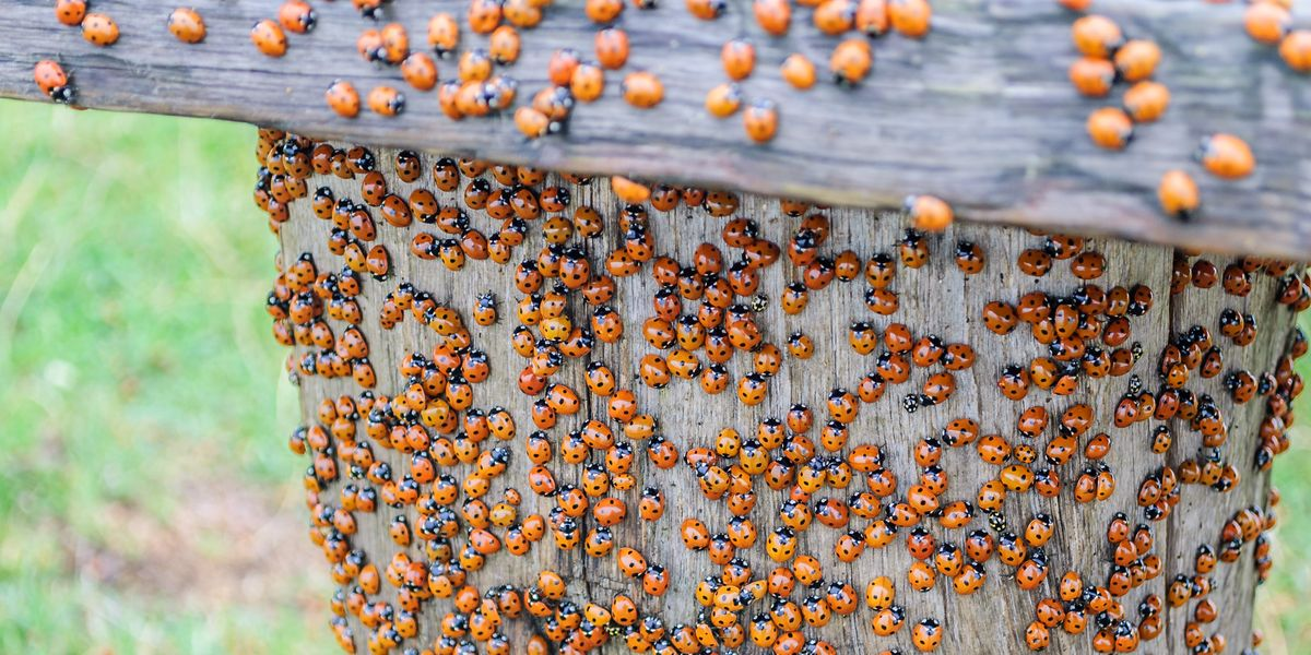 Asian Lady Beetles Are The Bad Version Of Ladybugs Here S