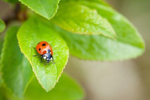 ladybug on plant leaf