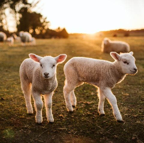 Lambs outside on the field