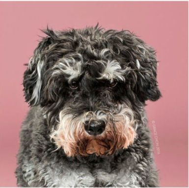 Dog, Mammal, Vertebrate, Dog breed, Canidae, Schnoodle, Carnivore, Terrier, Sporting Group, Portuguese water dog,