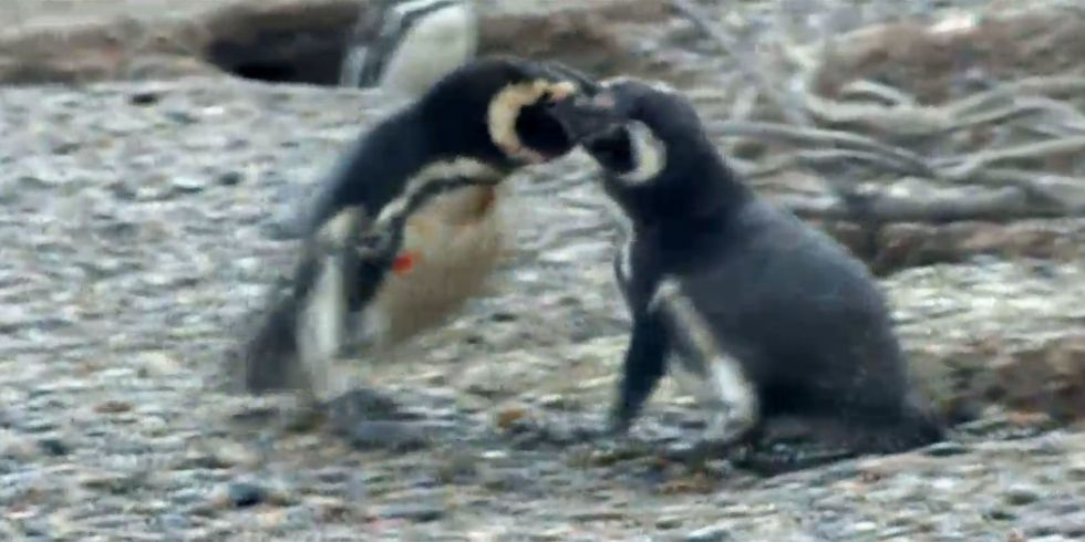 This Savage Penguin Brawl Is Taking Over the Internet