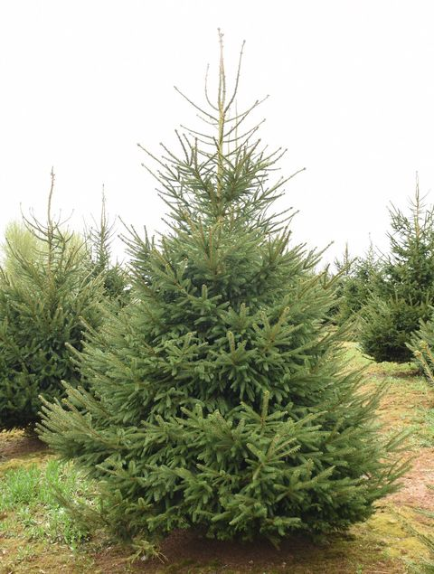 Christmas Trees Images.Real Christmas Tree Guide Types Of Real Christmas Trees