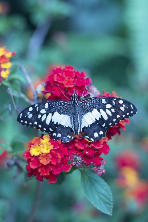 butterfly on the flower, lantana
