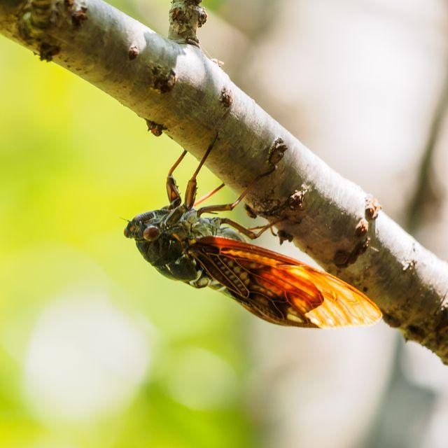 large brown cicada on tree