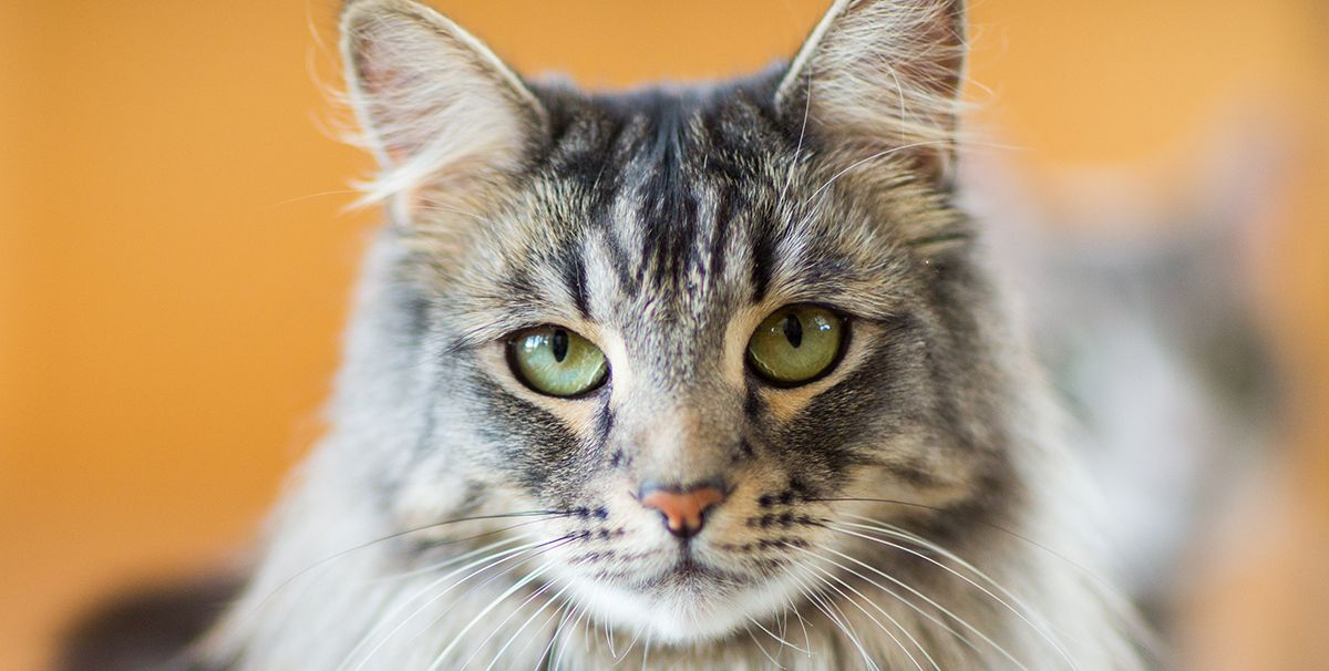 10 Large Cat Breeds That Would Be the Purr-fect Addition to Your Home