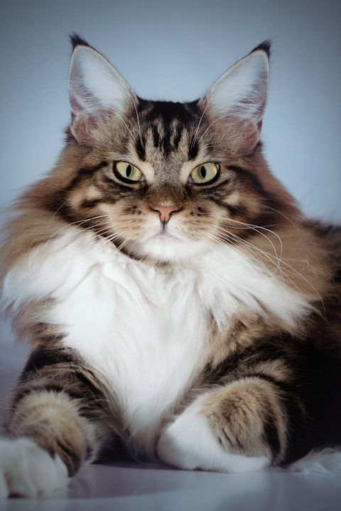large cat breeds maine coon