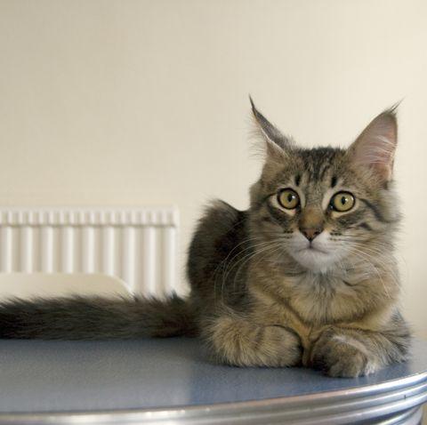 large cat breeds - pixie bob cat