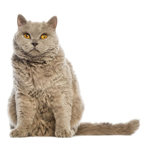 large cat breeds - selkirk rex cat