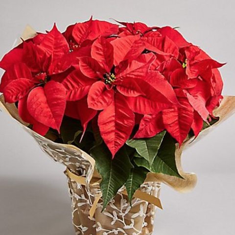 Large Christmas Gift-Wrapped Poinsettia