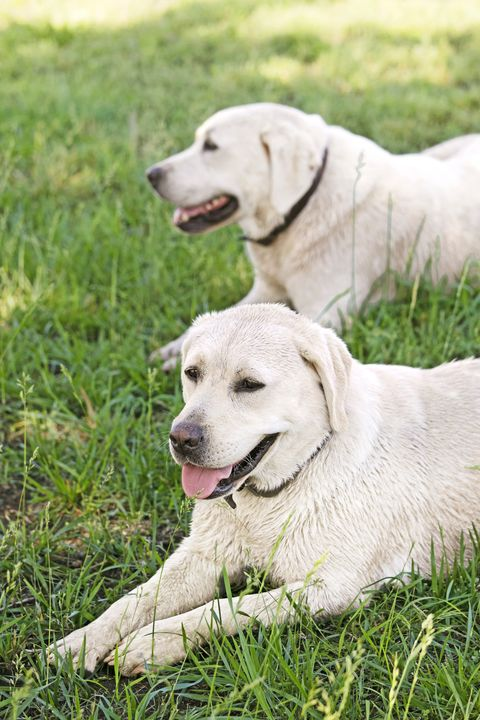 large dog breeds ree drummonds labrador retrievers