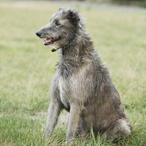 largedogbreedsscottishdeerhound