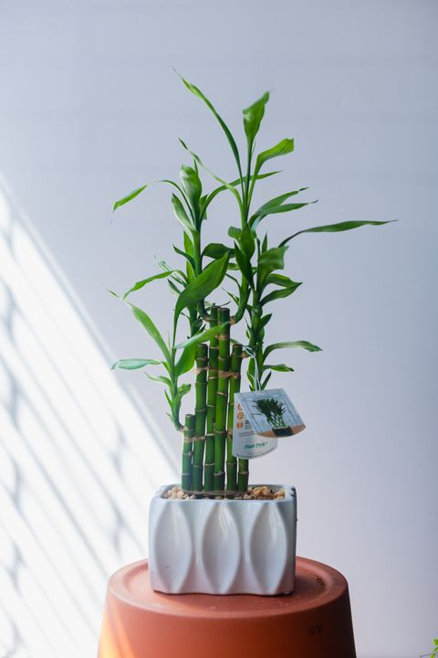 large indoor potted bamboo plant