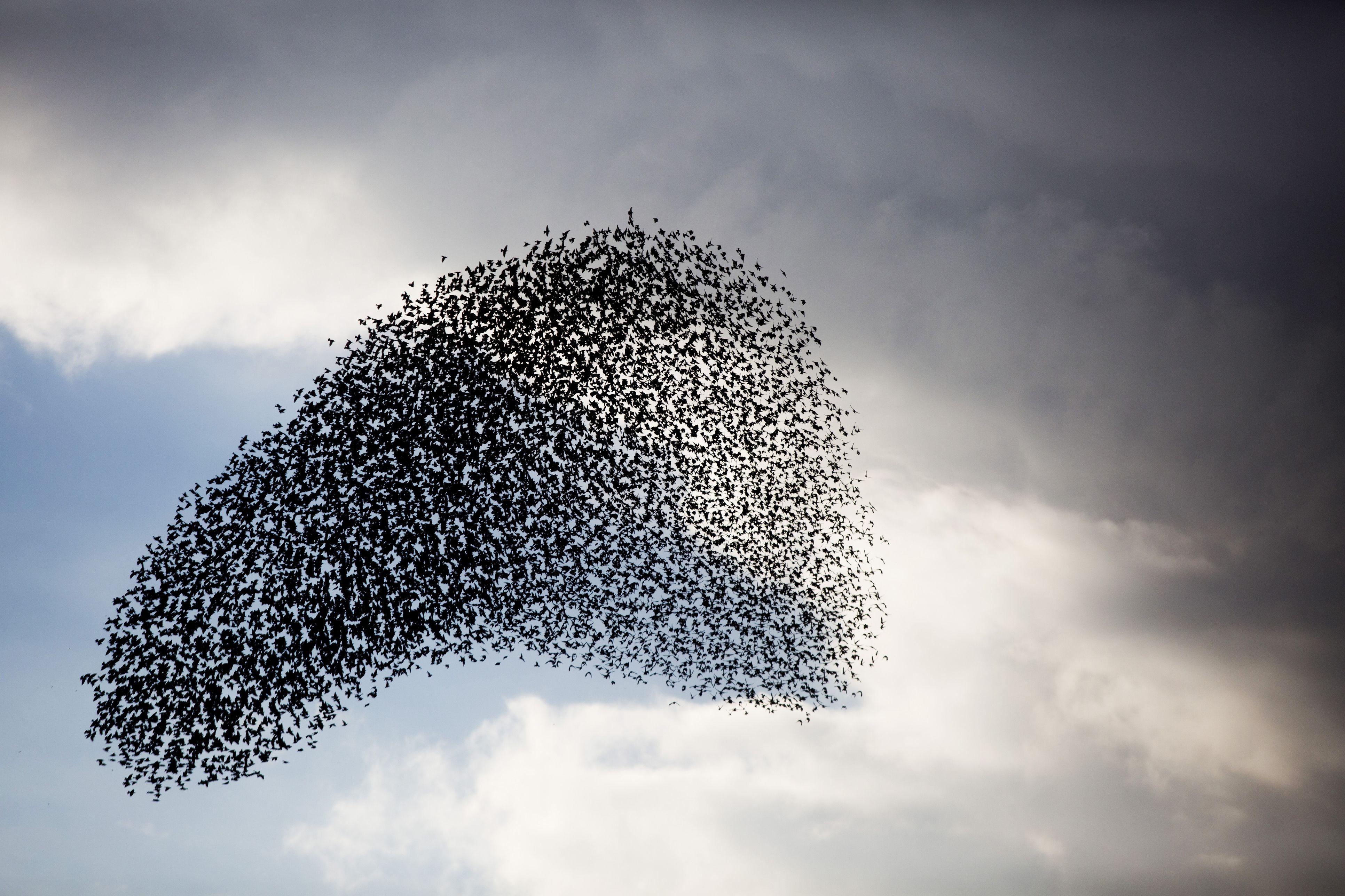 Large murmuration of starlings