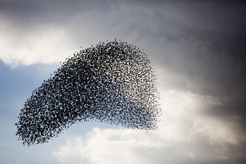 Large murmuration of starlings