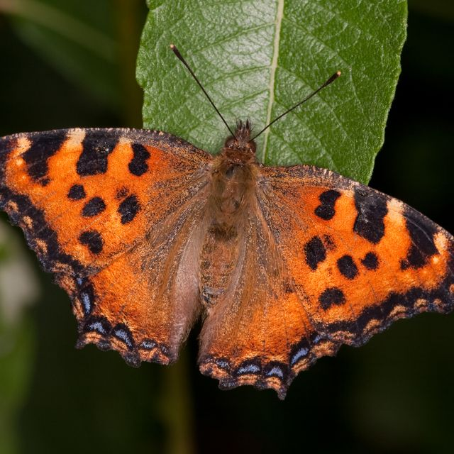 good news the large tortoiseshell butterfly has been spotted in rare dorset sighting