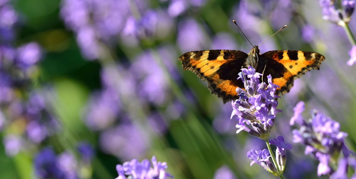Good news! The Large Tortoiseshell butterfly has been spotted in rare Dorset sighting