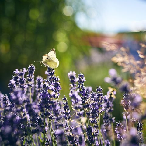 Lavender growing outside