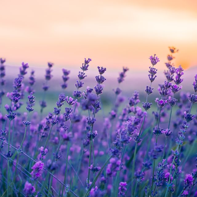 lavender field in the summer, natural colors, selective focus