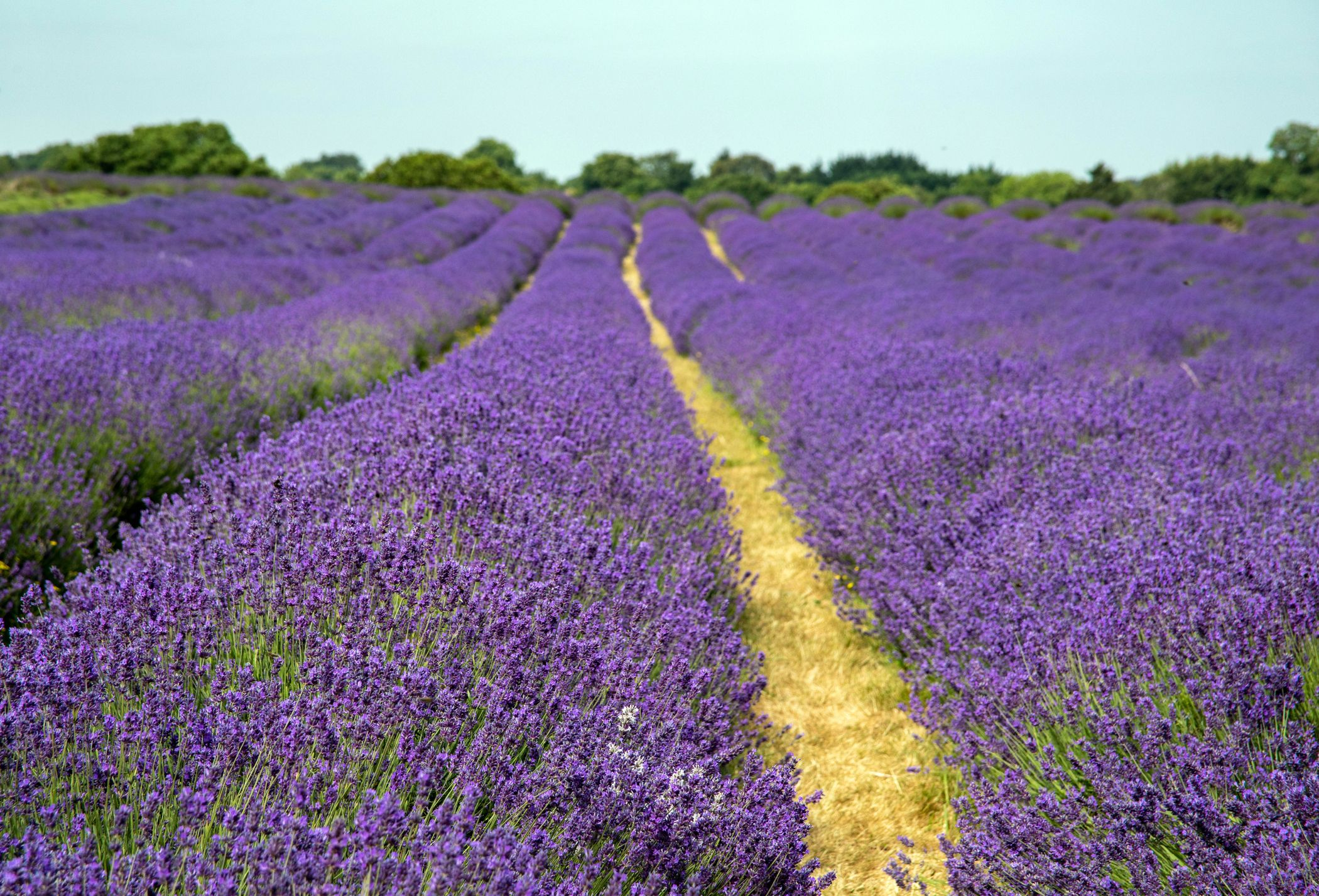 A Lavender farm in Surrey is asking tourists not to visit on weekends due to overcrowding