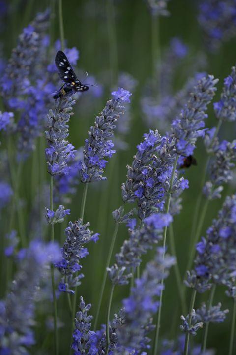 Lavender inflorescences, Merano