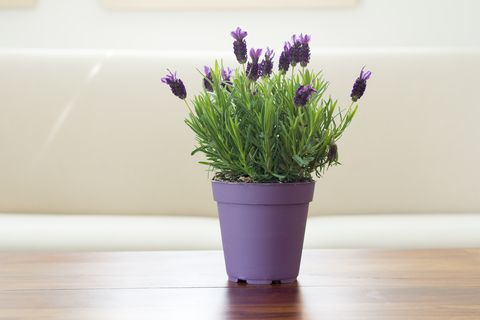 lavender plant flowers in pot