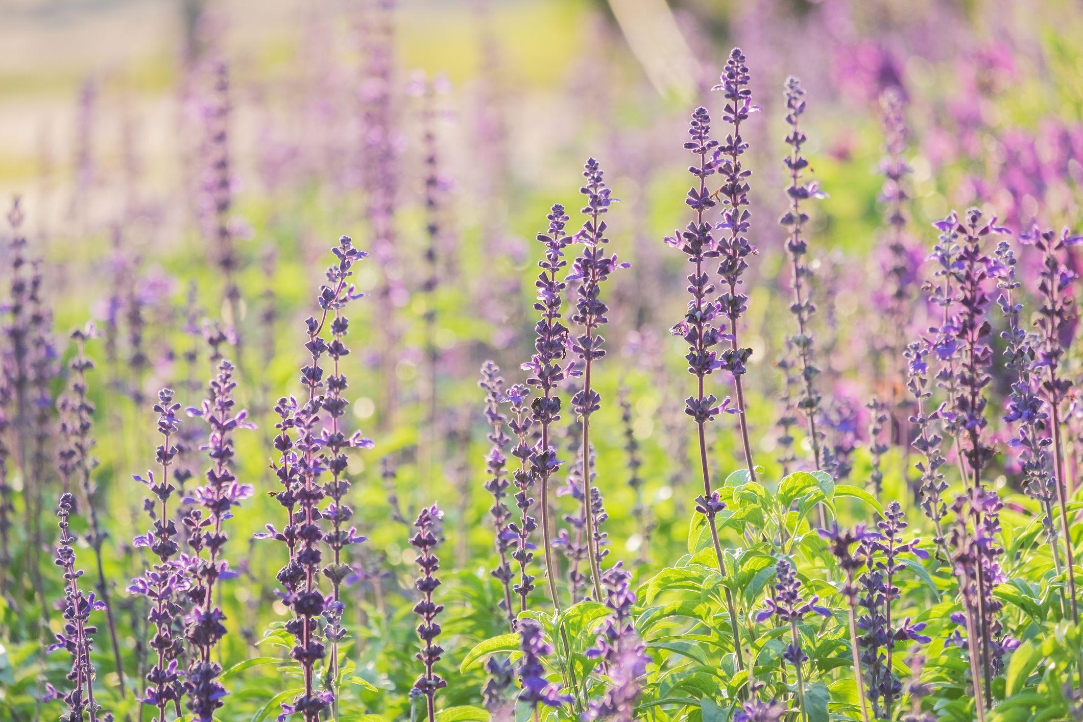 Lavenders Blooming On Field