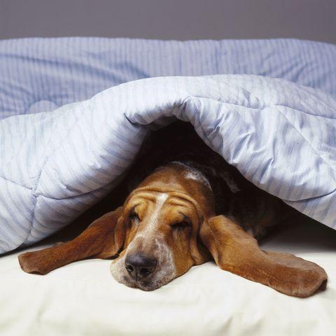 Basset Hound under Blanket
