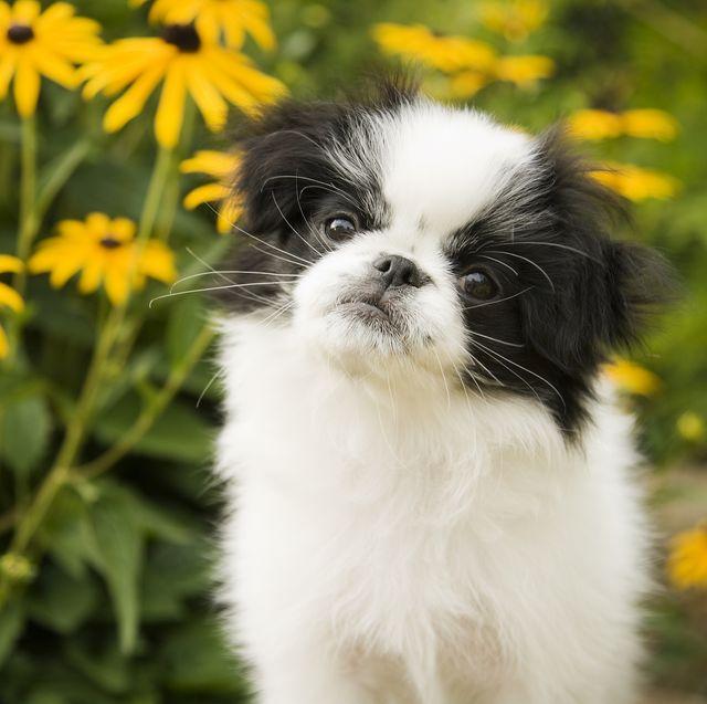 Japanese Chin Puppy in Garden
