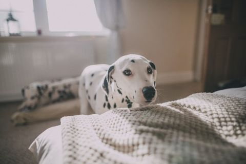 Dalmatian, Dog, Mammal, Canidae, Dog breed, Carnivore, Snout, Non-Sporting Group, Companion dog, Room,